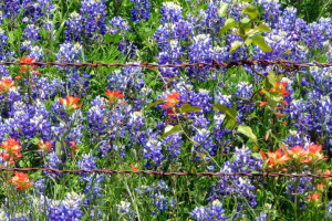 Ennis Bluebonnet Trails -064