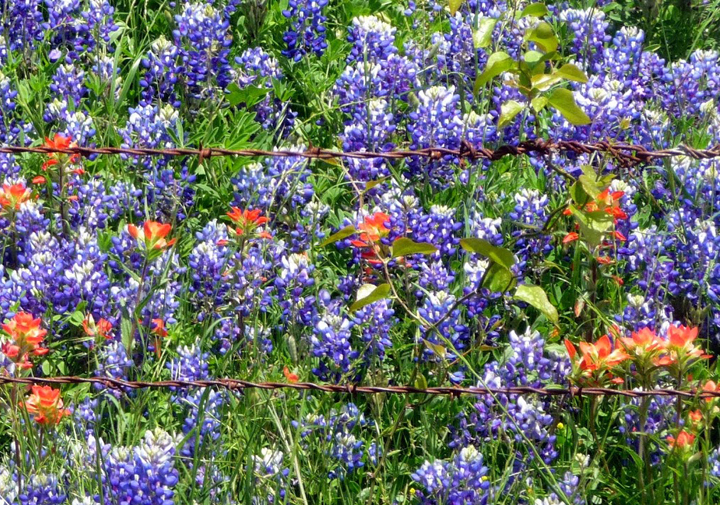 Best Bluebonnet Patches Around Tarrant County
