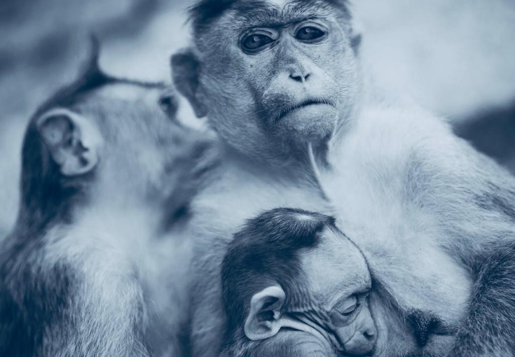 monkey with babies