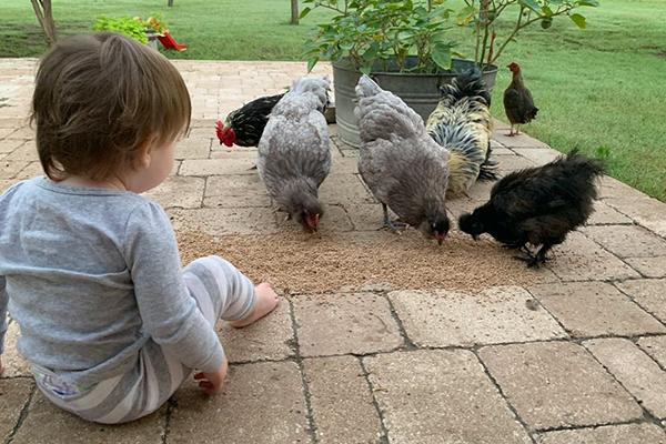 toddler feeding chickens