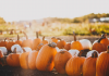 pumpkins-patch-fall-guide
