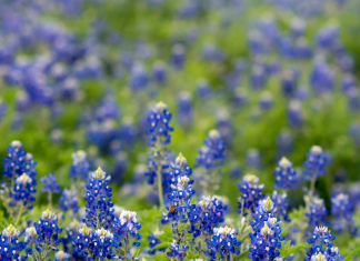 Find the most beautiful bluebonnet patches in Fort Worth.